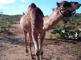 Course entre un chameau et une fille