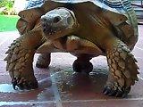 Orgasme d'une tortue