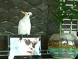 Perroquet qui chante du Gangnam Style