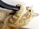 Chat joue avec un tuyau d'aspirateu