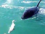 Une orque vole le poisson d'un pêcheur