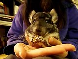 Chinchilla mange un cookie