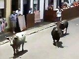 Photographe se fait surprendre par un taureau