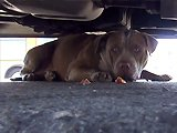 Héros sauve la vie d'un Pitbull abandonné