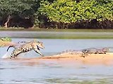Jaguar attaque un crocodile