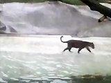 Un jaguar attrape un pélican