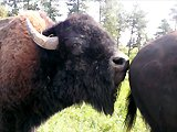 Bison pervers