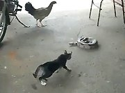 Chat VS Poule VS Serpent