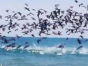 Une nuée de pélicans plonge dans l'océan