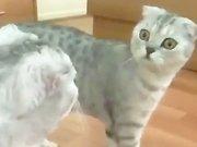 Un chat se voit dans un miroir