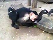 Un singe essaie de s'accoupler avec un canard