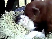 Un gros porc qui lèche une chatte