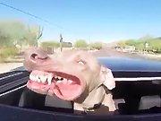 Un chien qui profite du toit ouvrant