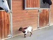 Un cheval copain avec une chèvre