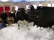 Des vaches s'amusent dans de la neige