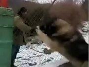Un chien gigantesque derrière un grillage