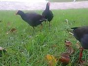 Des poules d'eau partagent de la nourriture