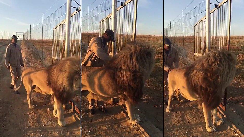 Flirter avec un homme lion
