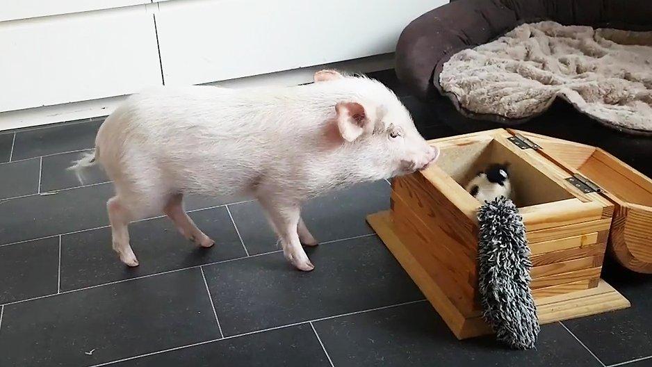 un cochon entrain de ranger ses jouets dans son coffre. Black Bedroom Furniture Sets. Home Design Ideas