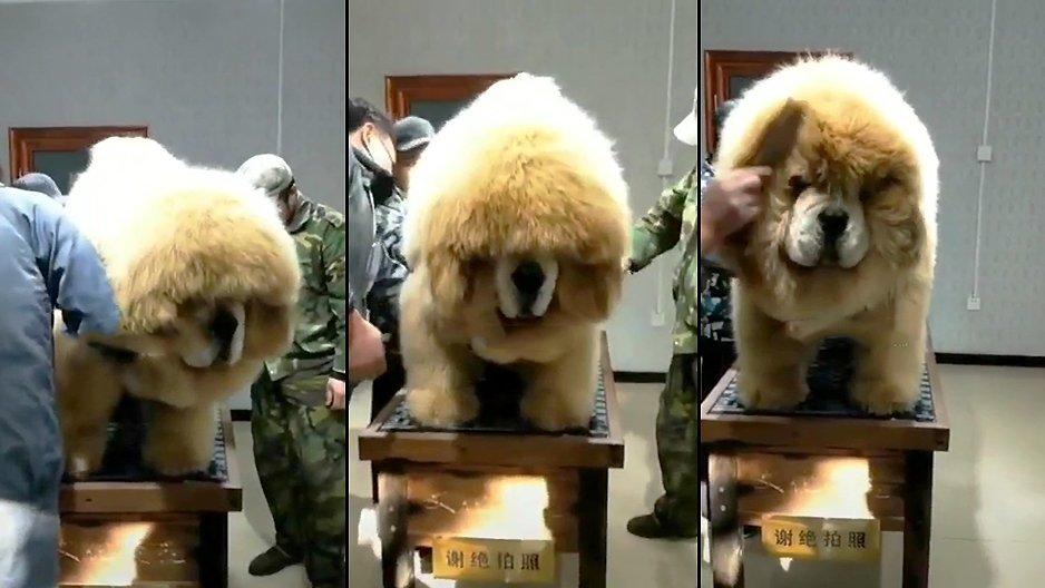 Un énorme chien doit passer à la douane