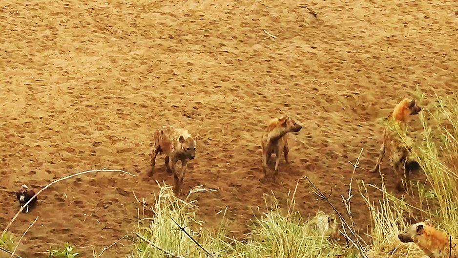 Un lion entouré de hyènes qui appelle à l'aide