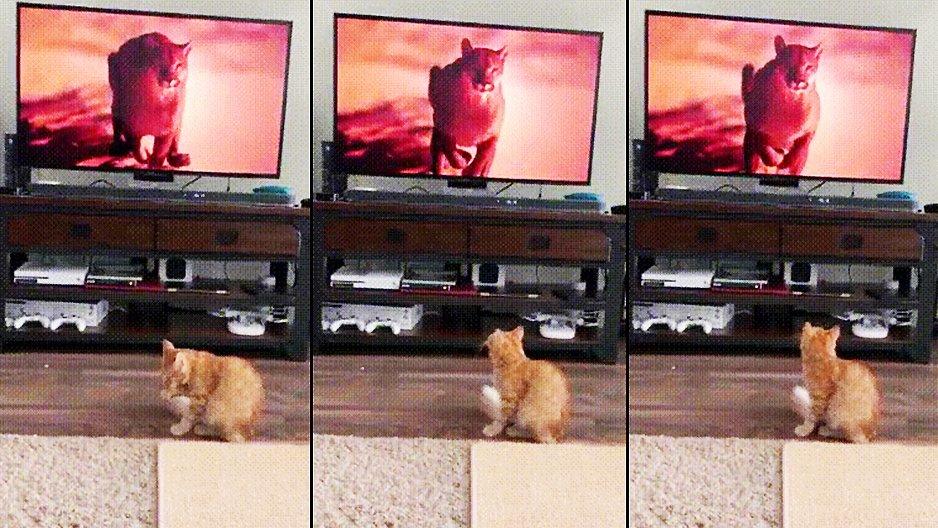 Un chat aperçoit un puma courir vers lui