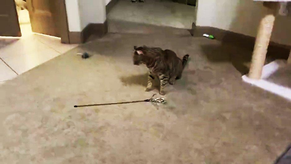 Un chat et son jouet