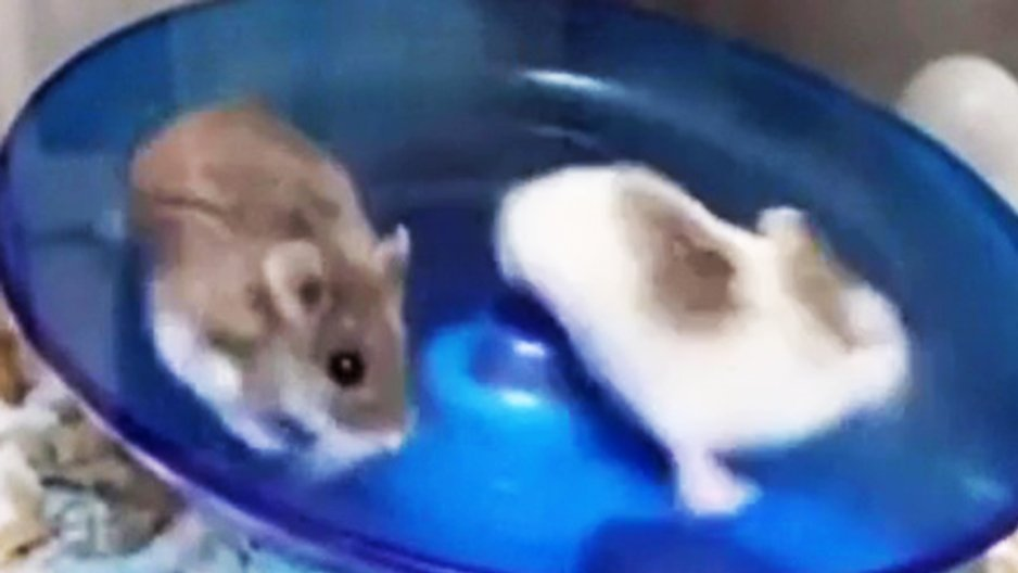 Deux hamsters en train de passer le temps