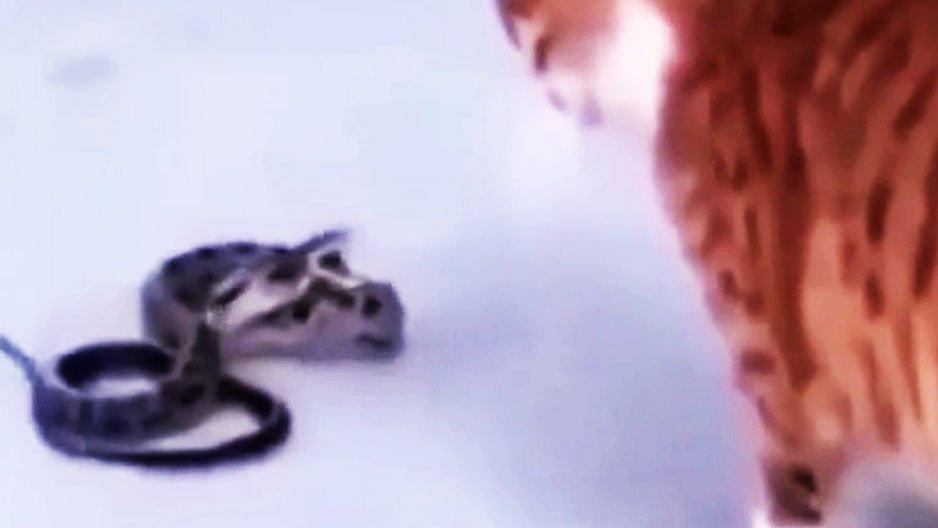 Un serpent qui attaque un chat